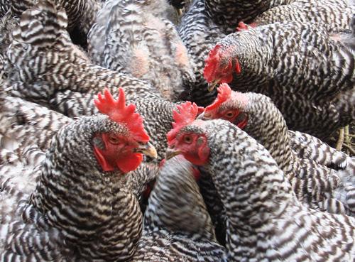 Bioshelter Chickens