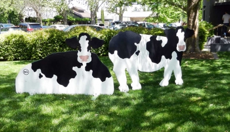 cows losing mothering instinct