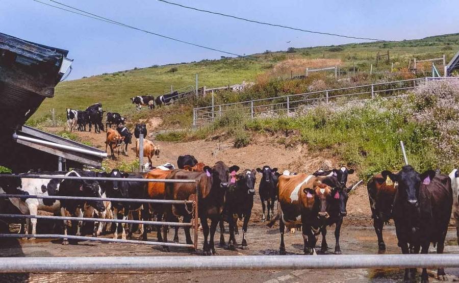 straus dairy convert manure