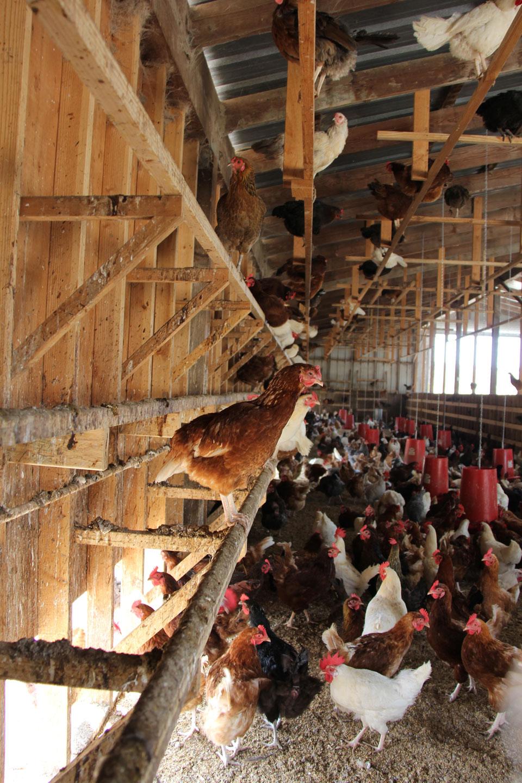 humanely raised chickens at Coastal Hill Farm