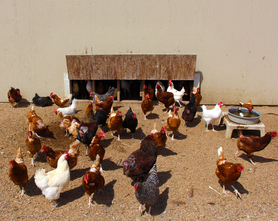 free range chickens at Coastal Hill Farm