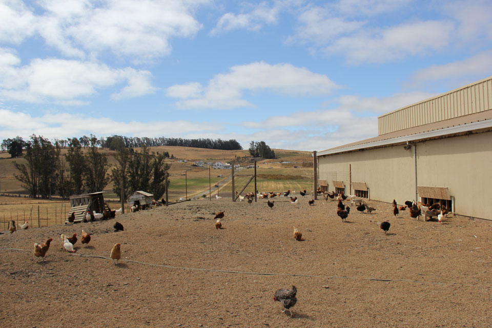 humanely raised chickens at Coastal Hill