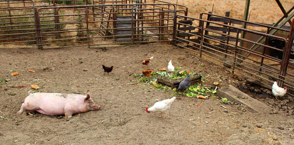 humane raised pigs at Coastal Hill Farm