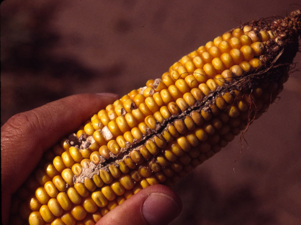 Corn Insect Ear Injury