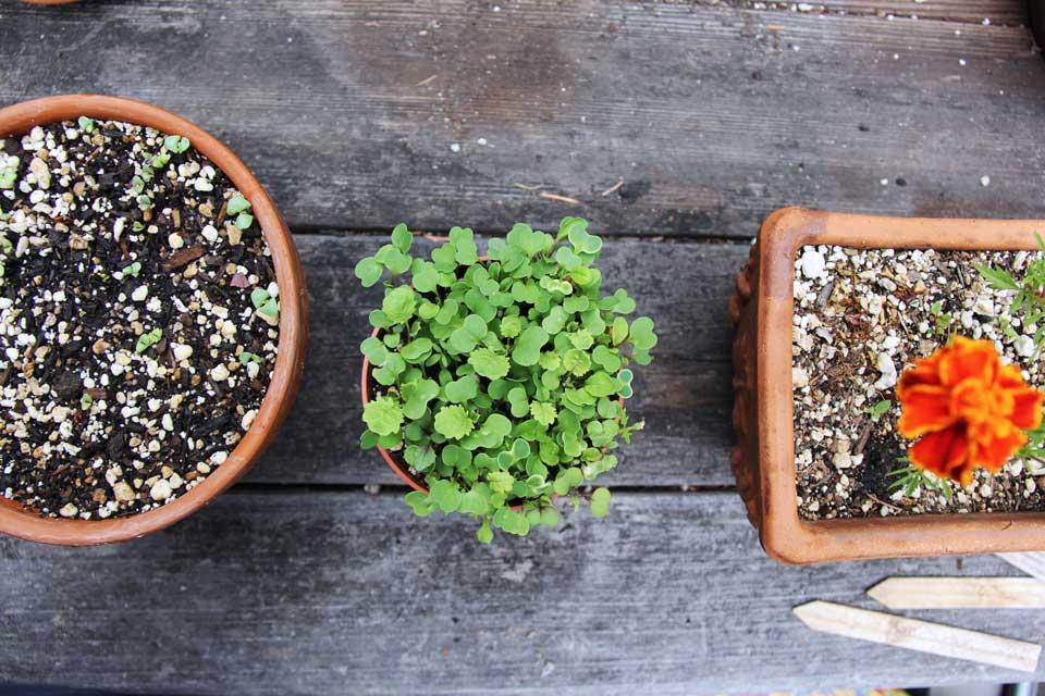 Inexpensive microgreens DIY