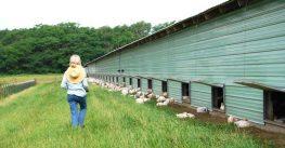 Smart Chicken: Nebraska Poultry Farm Goes Beyond Organic